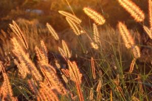 dawn_grasses