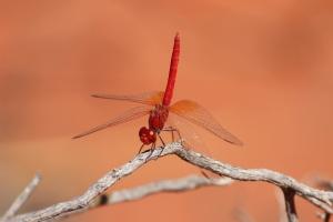 red_desert_dragonfly
