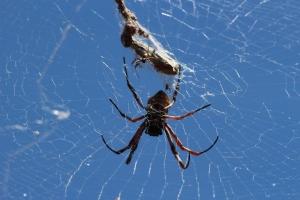 spider_babies