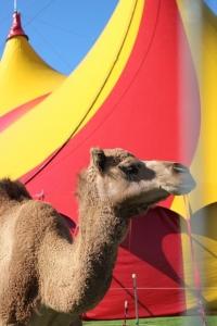 circus_camel copy