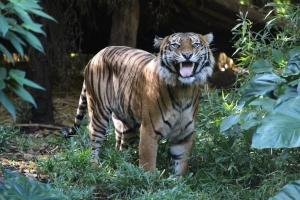 grinning_tiger