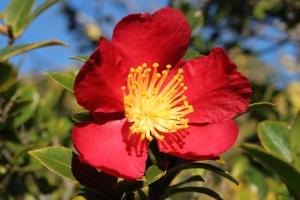 yuletide_camellia